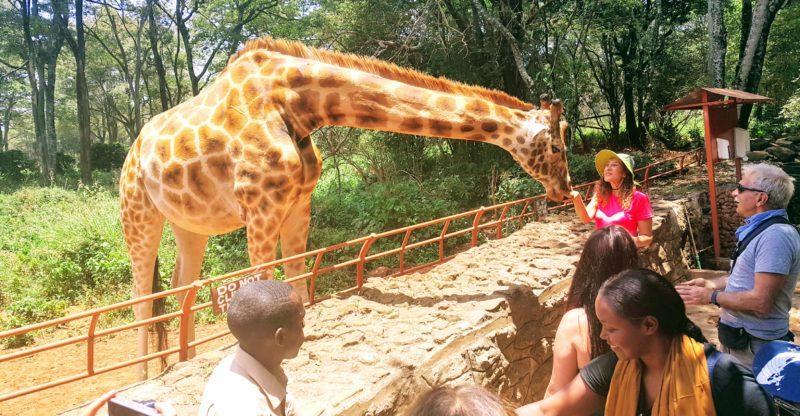 Giraffe Center'daki Zürafalar