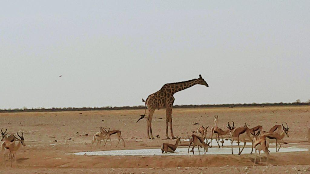 Afrika'da Su Önemli; Zebra ve Antiloplar